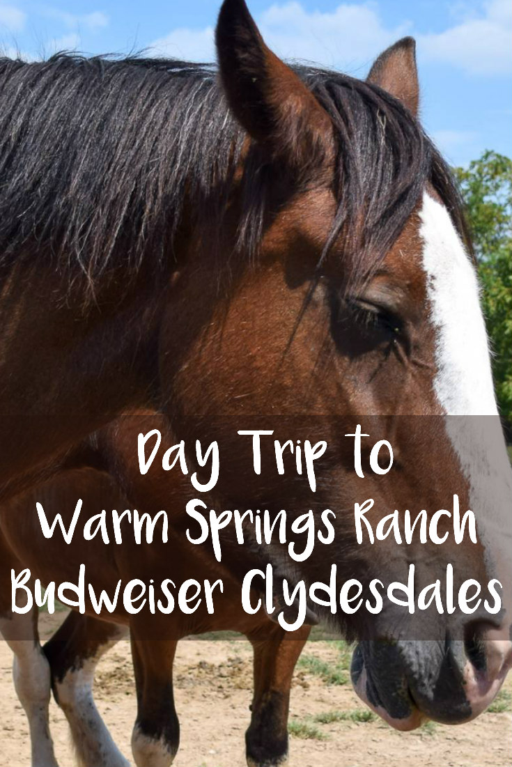 Day Trip to Warm Springs Ranch - Budweiser Clydesdales